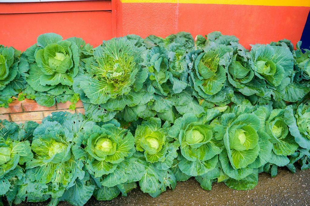 cabbage_kaiyo