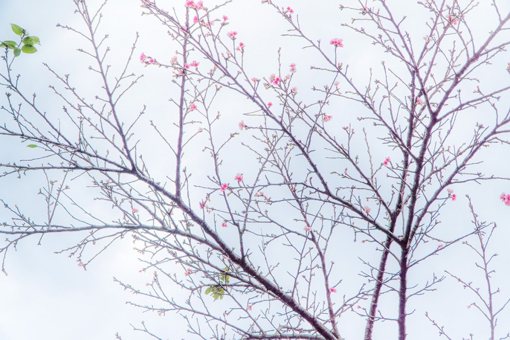 sakura05_motobu160107