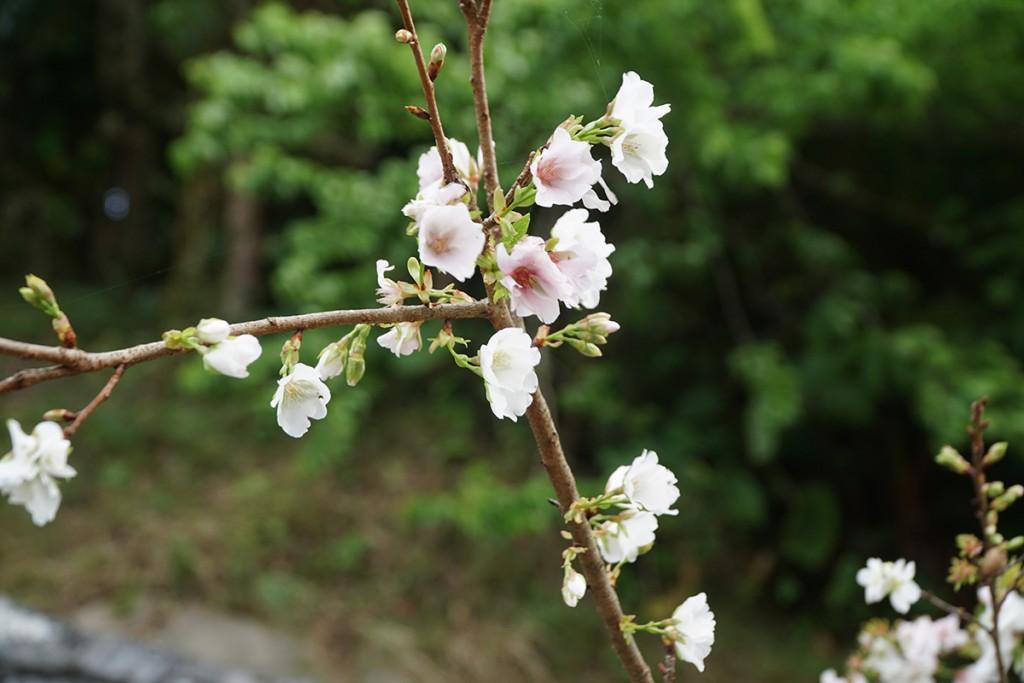 kumenosakura02_izumi160314
