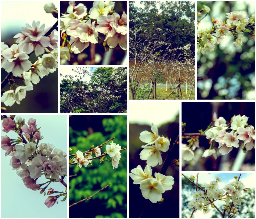 kumenosakura_collage_izumi160314