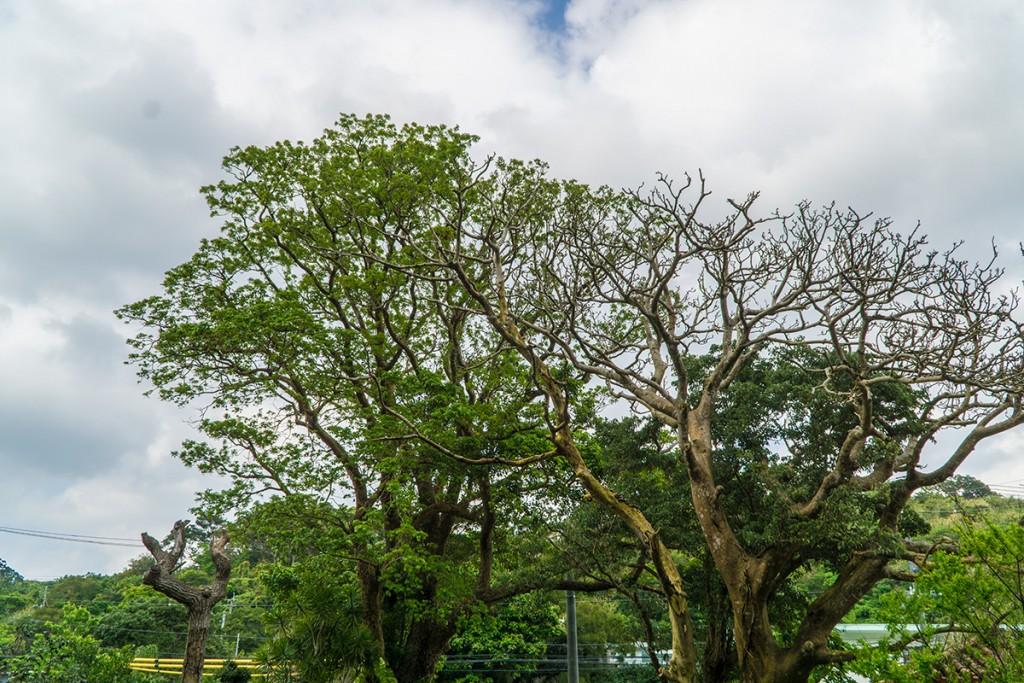 tree_izumi160314
