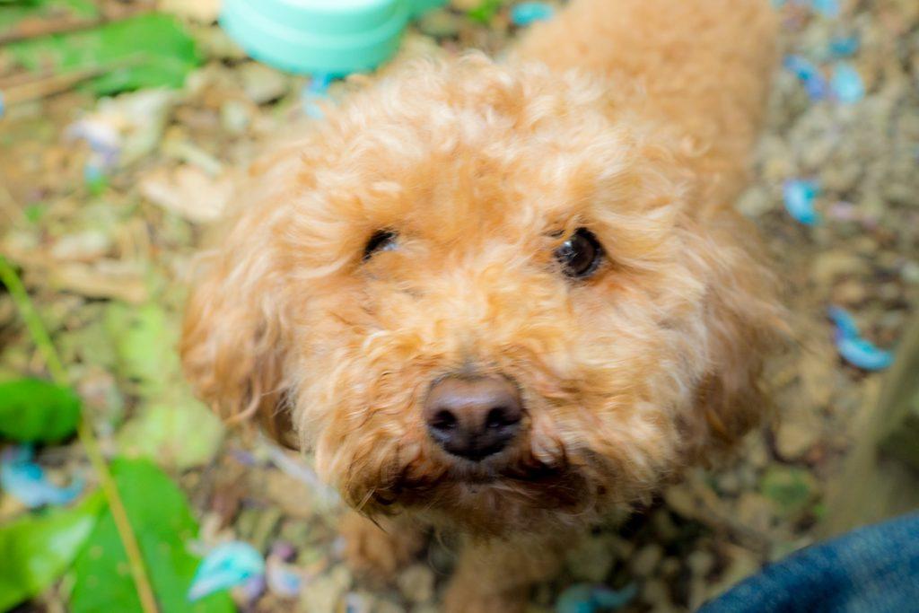 dog_becky_yumenoya