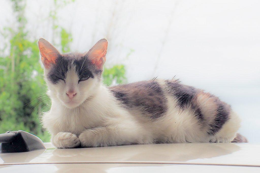 cat_koba