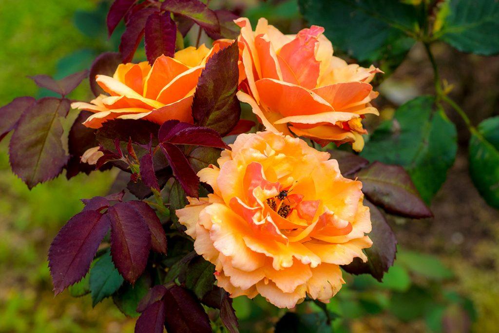 rose01_kaguyahime