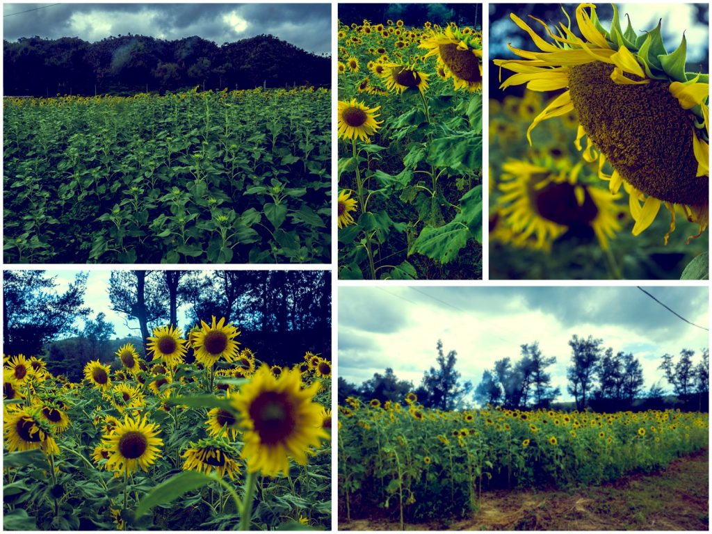 sunflower_collage_tema_160902