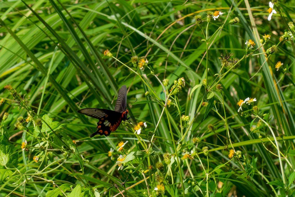 uragushiku_butterfly2_160920