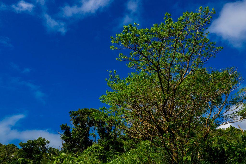 uragushiku_tree3_160920
