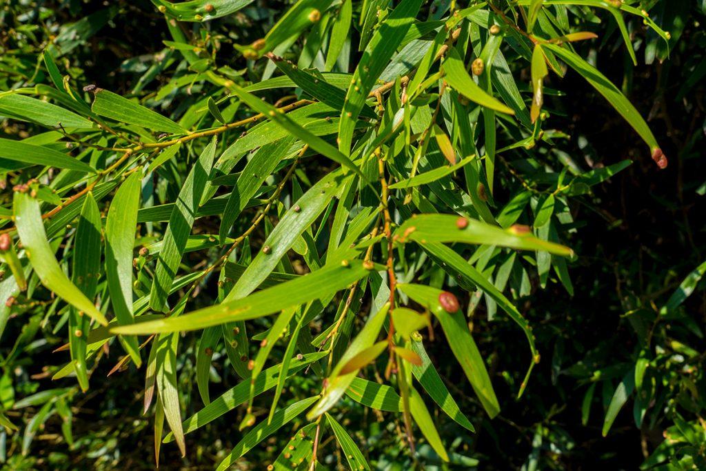 leaf_mi2_ohura