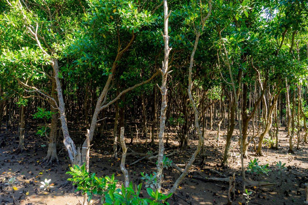 mangrove2_ohura
