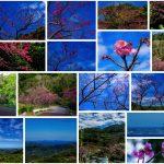 第39回本部八重岳桜まつり