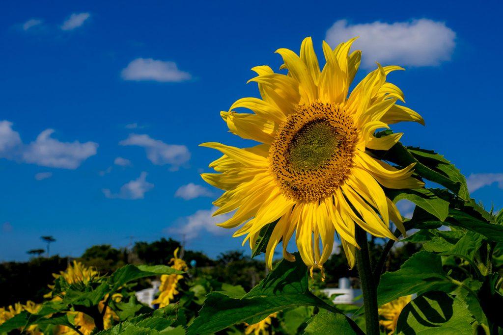 sunflower2_170212ogido